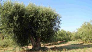 oliveCEPT Chile