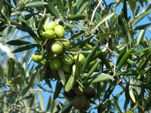oliveCEPT